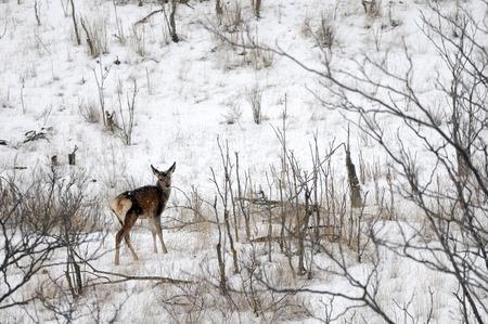 젊은 붉은 사슴 (Cervus elaphus) 겨울에 Sarycum barchan에서. 러시아 다게 스탄