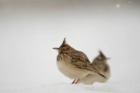 Two Crested larks (Galerida cristata) in winter. Dagestan, Russia. Stock Photo