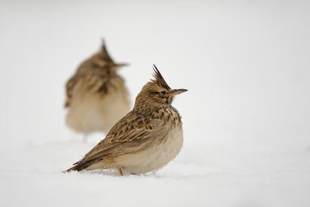 겨울에 볏이있는 lark (Galerida cristata). 다게 스탄, 러시아.
