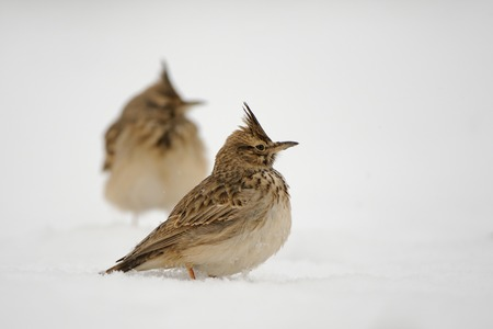Crested larks (Galerida cristata) in winter. Dagestan, Russia. Stock Photo