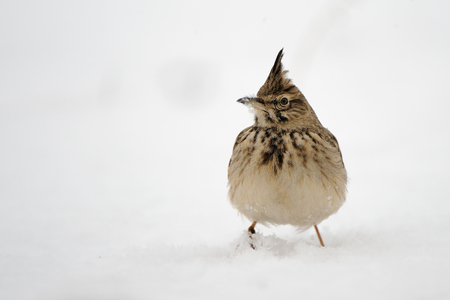 Crested lark (Galerida cristata) in winter. Dagestan, Russia.