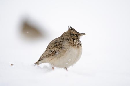 볏이 lark (Galerida cristata) 겨울입니다. 다게 스탄, 러시아.
