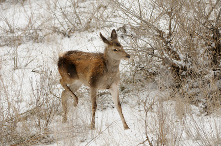 Young red deer (Cervus elaphus) at Sarycum barchan in winter. Dagestan, Russia Stock Photo