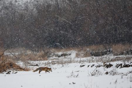 겨울에 쥐를 찾는 붉은 여우 (여우 속 여우 속) 산책. 러시아 다게 스탄 스톡 콘텐츠
