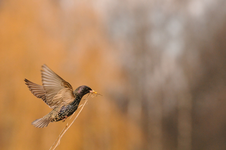 Flying Eurasian starling (Sturnus vulgaris) with building material near the nest in spring. Moscow region, Russia