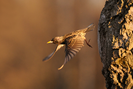 Flying Eurasian starling (Sturnus vulgaris) leaves tree hollow. Moscow region, Russia