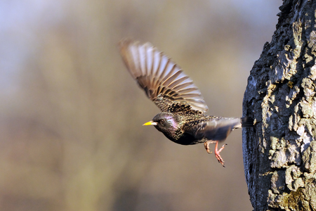 Flying Eurasian starling (Sturnus vulgaris) leaves tree hollow in spring. Moscow region, Russia Stock Photo