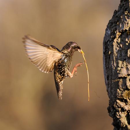 봄에 둥지 근처 소재를 구축 유라시아 starling (Sturnus vulgaris)를 비행. 모스크바 지역, 러시아