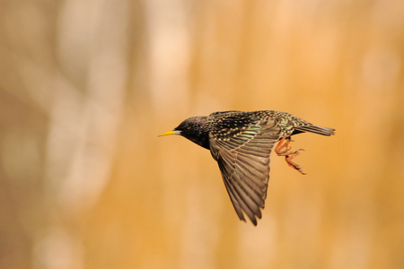 Flying Eurasian starling (Sturnus vulgaris). Moscow region, Russia Stock Photo