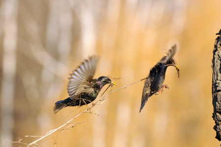 Two Eurasian starlings (Sturnus vulgaris) construct the nest in tree hollow. Moscow region, Russia Stock Photo