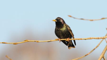 Perching Eurasian starling (Sturnus vulgaris) spring. Moscow region, Russia