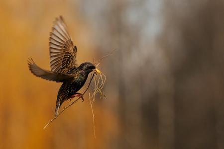 봄에서 둥지 근처 유라시아 starling (Sturnus vulgaris)를 비행. 모스크바 지역, 러시아