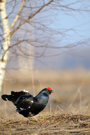 Male Black grouse (Tetrao tetrix ) at courtship place. Yaroslavl region, Russia Stock Photo