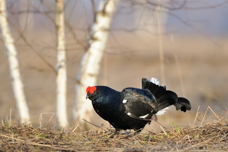 Male Black grouse (Tetrao tetrix ) at courtship place. Yaroslavl region, Russia Stock Photo