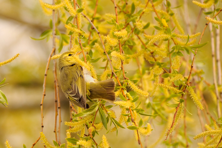 Perching Wood Warbler (Phylloscopus sibilatrix) at flowering willow in spring. Moscow region, Russia Stock Photo