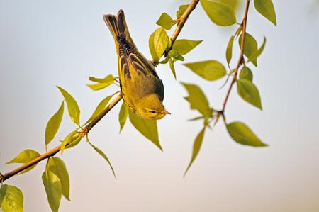 봄에서 포 플 러 분기 머리에서 나무 울 부 랑 (Phylloscopus sibilatrix). 모스크바 지역, 러시아