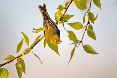 Wood Warbler (Phylloscopus sibilatrix) at poplar branch head down in spring. Moscow region, Russia Stock Photo
