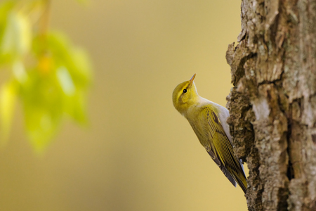Perching Wood Warbler (Phylloscopus sibilatrix) at poplar tree in spring. Moscow region, Russia Stock Photo