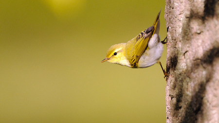 Perching Wood Warbler (Phylloscopus sibilatrix) at poplar branch in spring. Moscow region, Russia Stock Photo