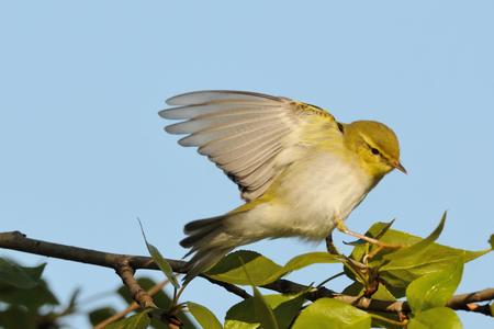 나무 Warbler (Phylloscopus sibilatrix) 봄에서 포 플 러 분기에서 날개가 퍼덕 거리는. 모스크바 지역, 러시아