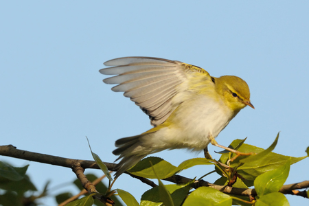 Wood Warbler (Phylloscopus sibilatrix) flapping wings at poplar branch in spring. Moscow region, Russia