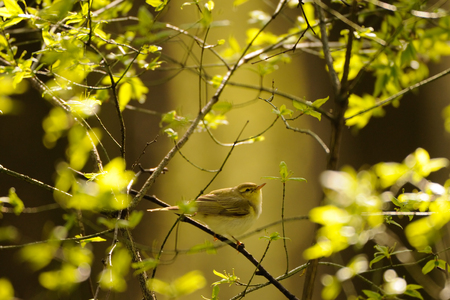 Perching Wood Warbler (Phylloscopus sibilatrix) in spring forest. Moscow region, Russia
