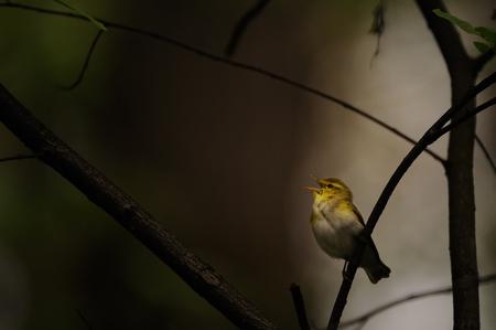 어둠의 숲에서 우드 워 골래 (Phylloscopus sibilatrix) 노래. 모스크바 지역, 러시아