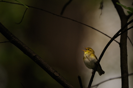 Perching Wood Warbler (Phylloscopus sibilatrix) singing in dark forest. Moscow region, Russia
