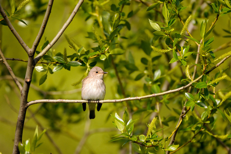 Perching Spotted Flycatcher (Muscicapa striata) in spring. Moscow region, Russia