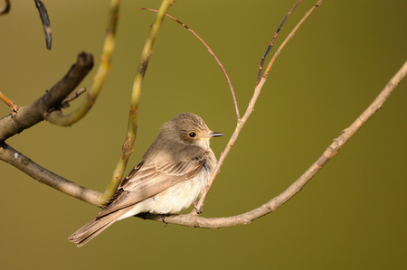 Perching Spotted Flycatcher (Muscicapa striata) in spring. Stock Photo
