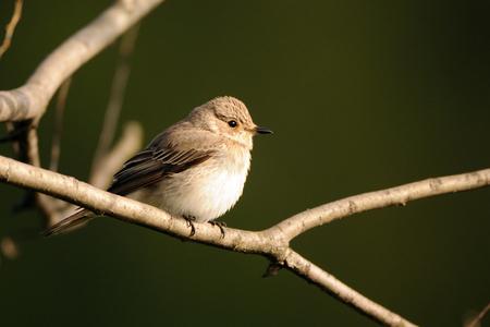 봄에서 발견 된 Flycatcher (Muscicapa striata)를 perching. 모스크바 지역, 러시아