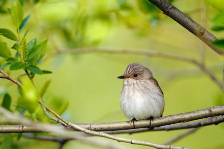 봄에서 발견 된 Flycatcher (Muscicapa striata)를 perching.