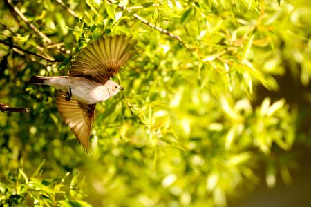 봄에서 발견 Flycatcher (Muscicapa striata)를 발견했다. 스톡 콘텐츠