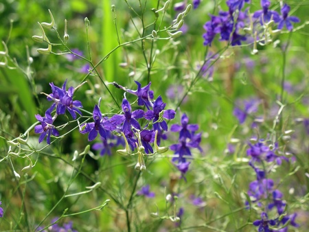 finesse: tender blue wild summer flowers Stock Photo