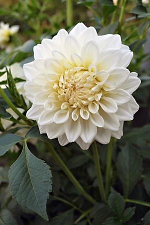 georgina: a flower of white georgina Stock Photo