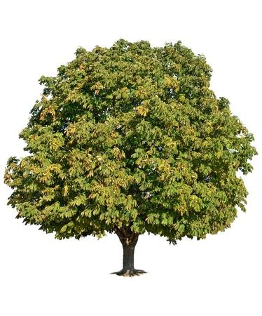 Un albero di castagno in piedi da solo su sfondo bianco