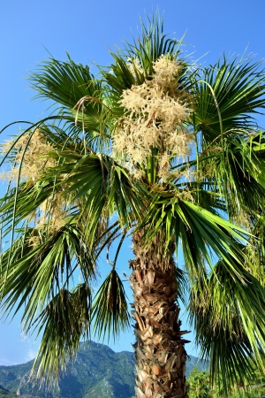 a fan palm with bunchy blooming white clusters photo
