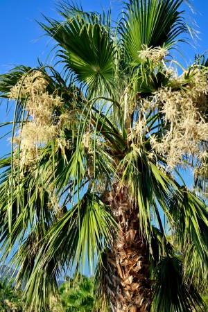 bunchy: a fan palm with bunchy blooming white clusters Stock Photo