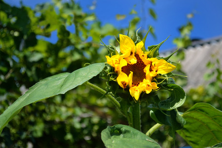 flourished: a lonely flourished blazing yellow sunflower on kitchen-garden under blue summer sky