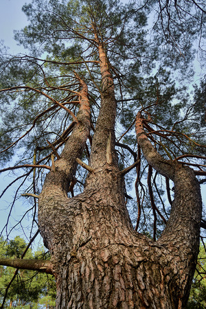 pine three: a high pine tree growing with three trunks seen from ground towards its top Stock Photo