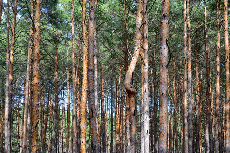 singularity: pine trees with a single curved trunk among dense wood of staight ones
