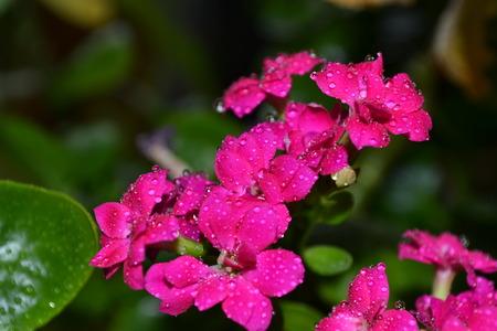 petites fleurs: Petites fleurs roses avec des gouttes d'eau