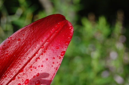 Red flower petal with water droplets