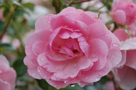 美しいピンクのバラの庭 写真素材