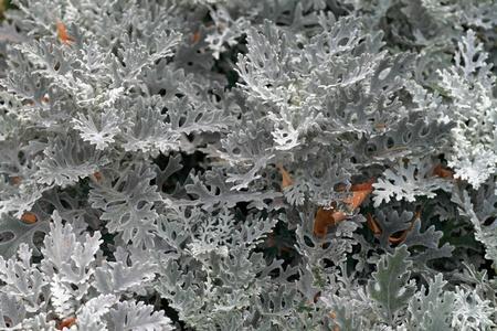 velvety: a beautiful garden plant with gray velvety leaves Illustration