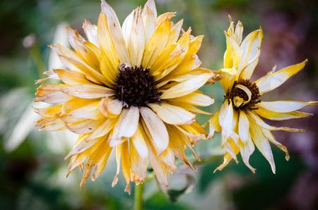 brown  eyed: Flower