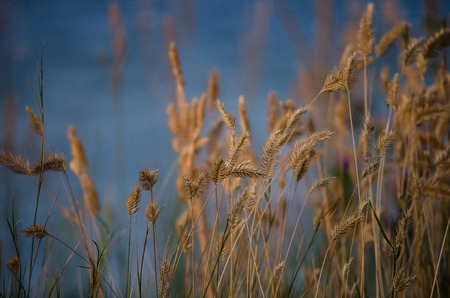 Wheat by the Water