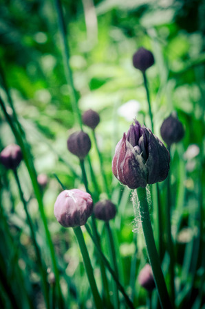 chives: Chives