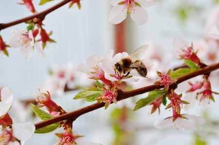 Bee and Apple Blossoms Imagens