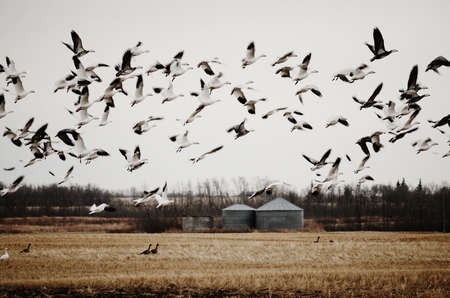 Flock of Birds in a Field